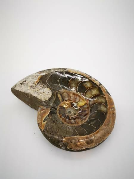Ammoniten Schale poliert
